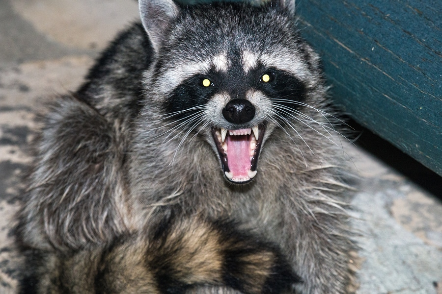 Raccoon electric barrier fencing deterrent for avoiding substation power outages